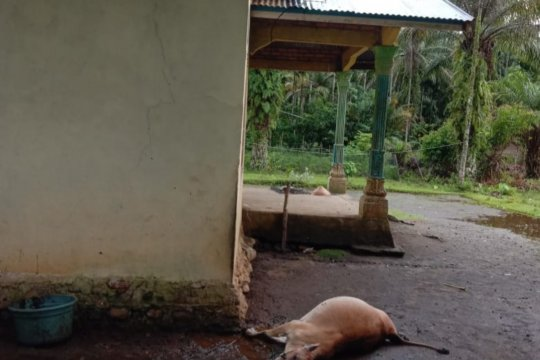 Satu ekor sapi yang terikat di samping rumah mati disambar petir
