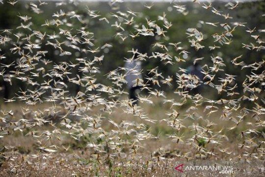Kenya diserbut jutaan belalang Page 1 Small