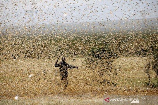 Kenya diserbut jutaan belalang Page 2 Small