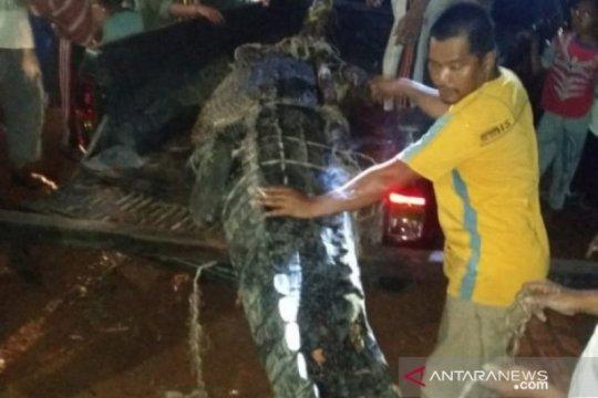Kampung Reklamasi Timah selamatkan 25 buaya muara berkonflik