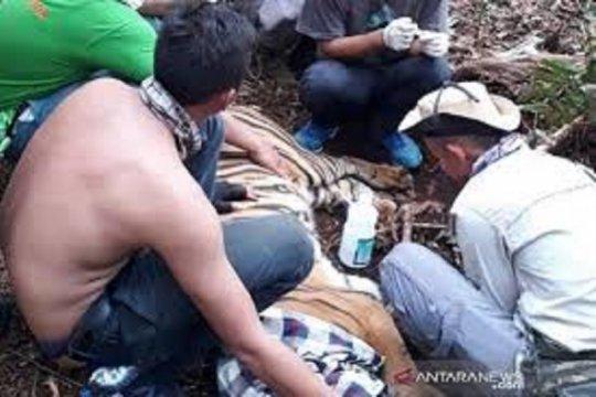 Seekor harimau sumatera terjerat dievakuasi dari konsesi HTI di Riau