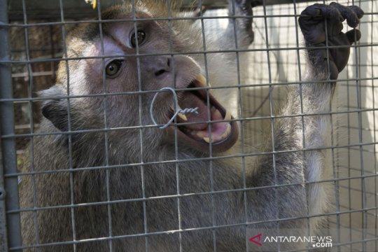 Monyet liar berkeliaran di permukiman warga di Serang