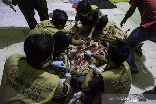 H-5 sebelum Lebaran, seekor harimau sumatera mati dijerat pemburu