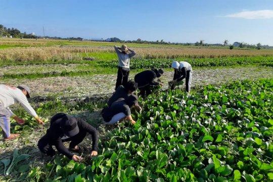 Petani di Tabanan panen sawi hijau dua ton selama pandemi