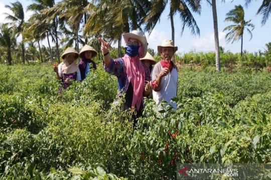 Ketua DPRD Kulon Progo minta petani merawat tanaman cabai