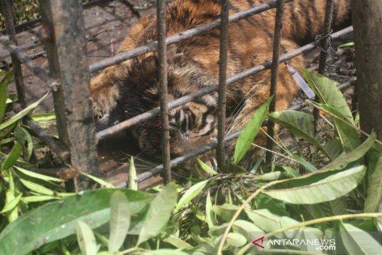 BKSDA Sumbar tangkap harimau Sumatera pasca terkam sejumlah ternak warga