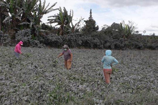 258 hektare tanaman kentang di Karo hancur akibat erupsi Sinabung