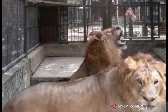 Delapan singa Asia di kebun binatang India terbukti positif COVID-19