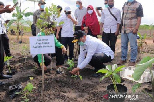 Bangka Belitung kembangkan lada - porang sistem tumpang sari