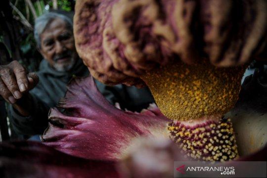Bunga bangkai raksasa mekar di pekarangan warga