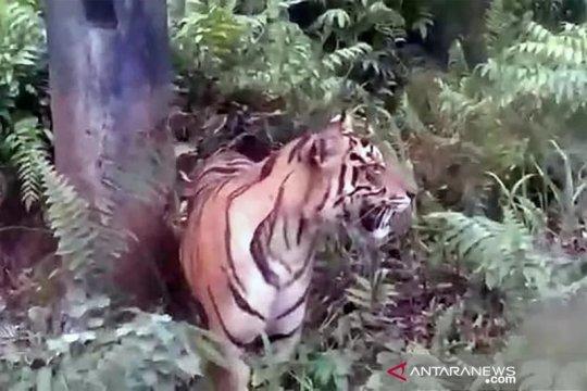 Seekor harimau masuk permukiman dan meresahkan warga