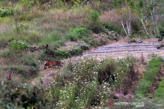 Upaya Penangkapan Harimau Sumatera