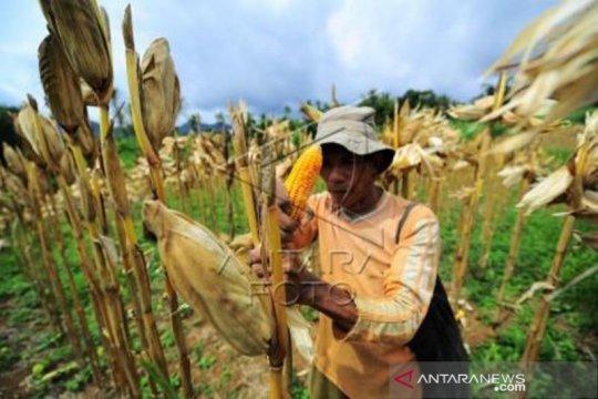Harga Jagung Pakan Berangsur Naik Di Tanah Datar