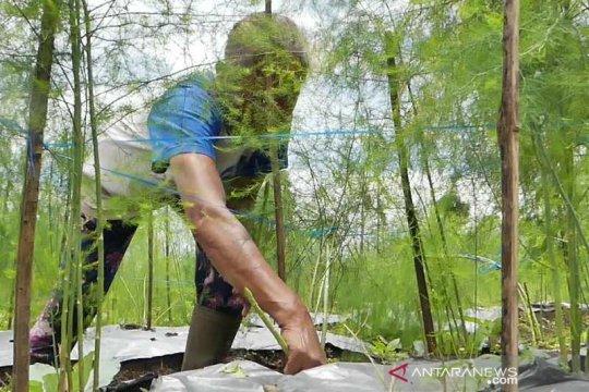 Asparagus tanaman alternatif yang menjanjikan