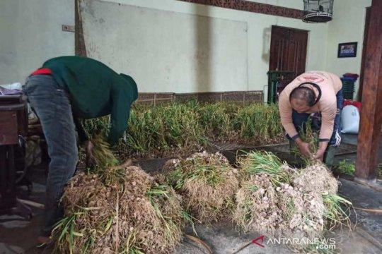 Petani Temanggung berharap harga bawang putih naik