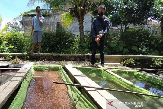 Penjualan bibit ikan di Ngrajek Magelang  kembali normal