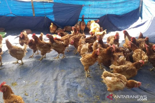 Stok ayam afkir untuk lebaran di Belitung mencapai 40 ribu ekor
