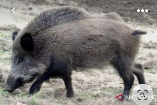 Tiga Kabupaten di Kaltara Ditemukan Banyak Babi Hutan Mati Mendadak