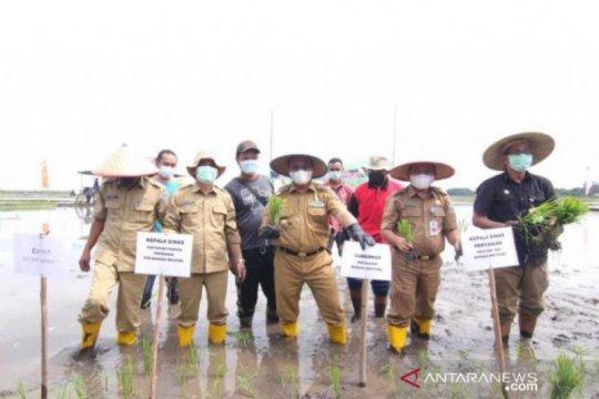 Gubernur Bangka Belitung tanam padi tahap dua di Desa Pergam