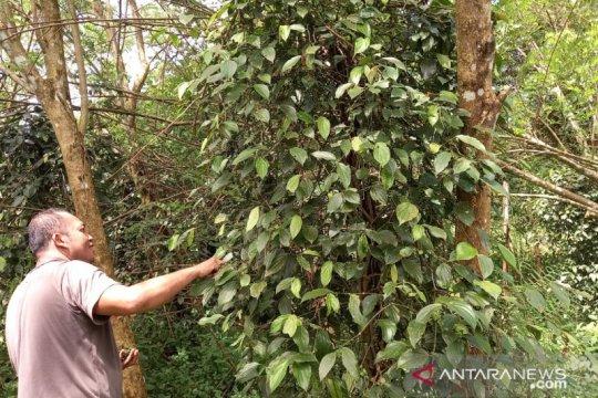 Produksi lada di Kabupaten Bangka ditargetkan capai 3.000 ton