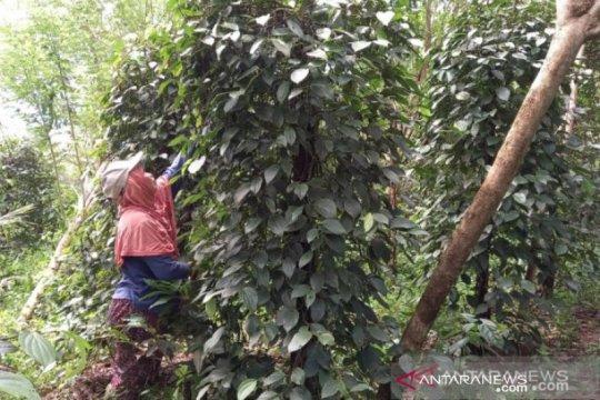 Pemprov Bangka Belitung terbitkan pergub larangan masuk lada putih luar daerah
