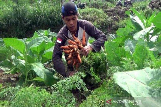 Petani lereng Merbabu Boyolali keluhkan harga wortel turun