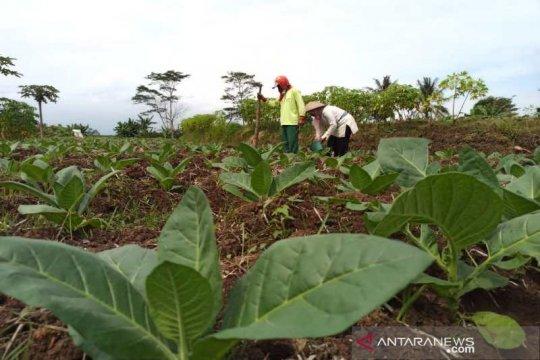Petani Temanggung berharap harga tembakau lebih tinggi