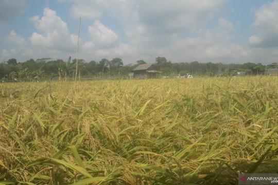 Pemkab Bangka Tengah dorong peningkatan produksi padi untuk penyangga pangan