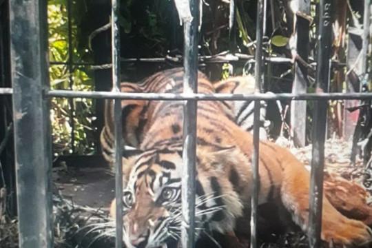 Harimau Sumatera yang berkeliaran di kebun sawit Pasaman Barat masuk perangkap BKSDA