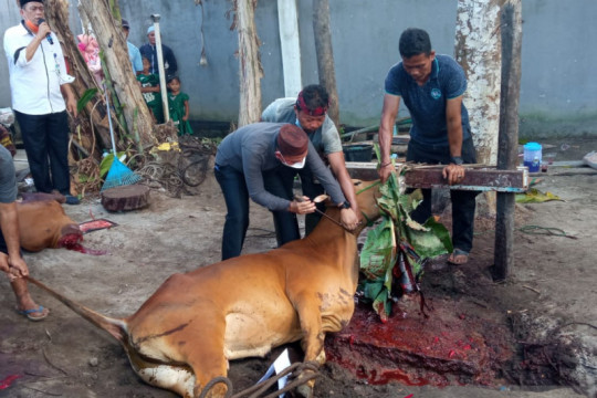 Pemerintah Kabupaten Bangka potong 32 ekor sapi kurban