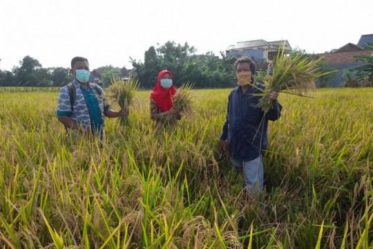 Produktivitas padi di Kabupaten Kudus meningkat