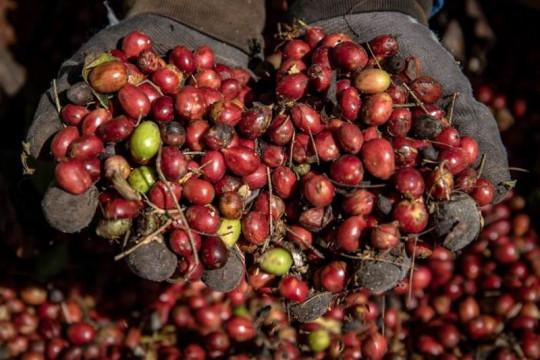 Panen raya biji kopi kualitas ekspor Page 2 Small