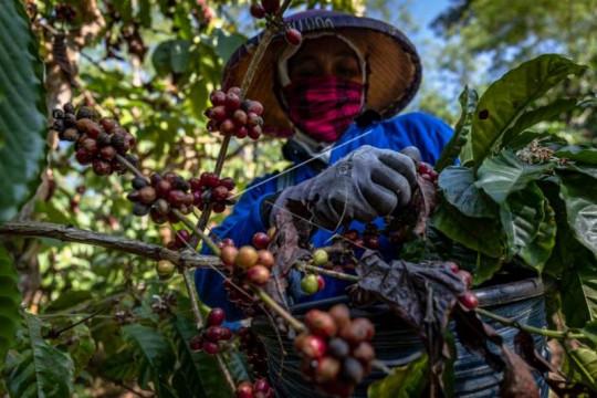 Panen raya biji kopi kualitas ekspor Page 4 Small