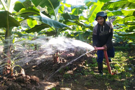 Warga Cibangkong kembangkan budi daya pisang cavendish