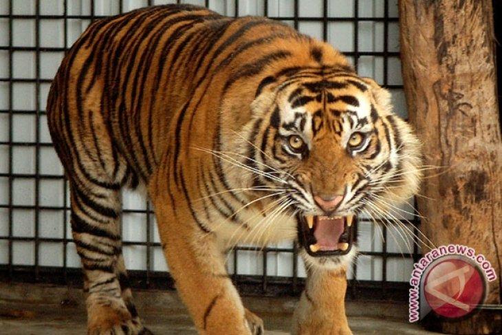 BKSDA turunkan tim pantau harimau sumatra