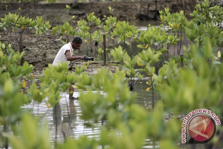 Mangrove Fforest conservation needed to overcome climate change