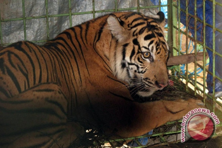Tiger population in Bengkulu now only 40