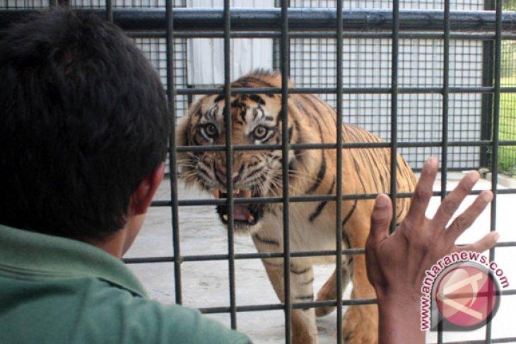 Harimau Sumatra makan ternak warga