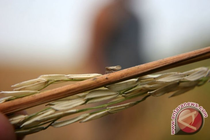 Some 38 hectares of paddy field in E. Java facing crop failure