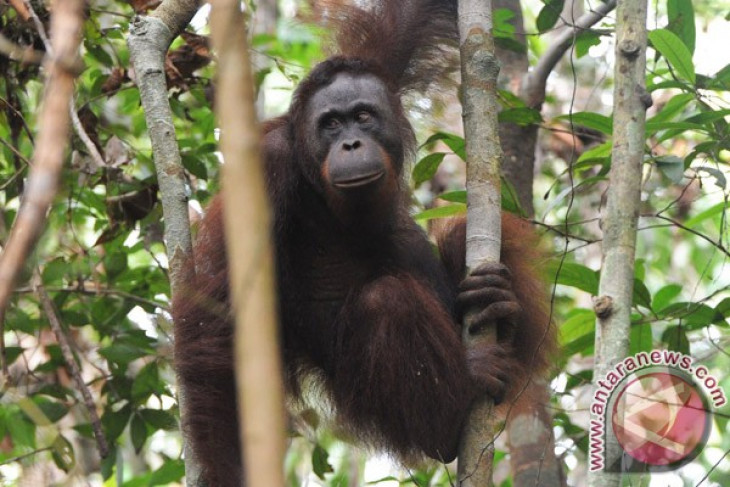 Police name orangutan killers in Kutai Timur suspects
