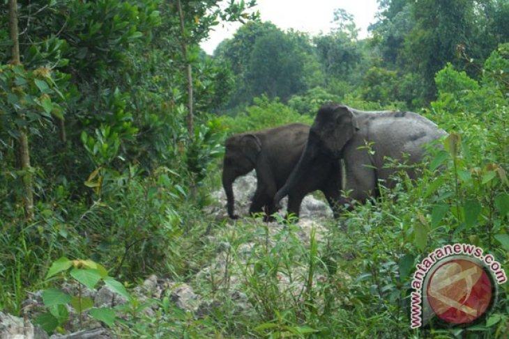 Sumatran elephant destroys villagers' farmlands in Aceh