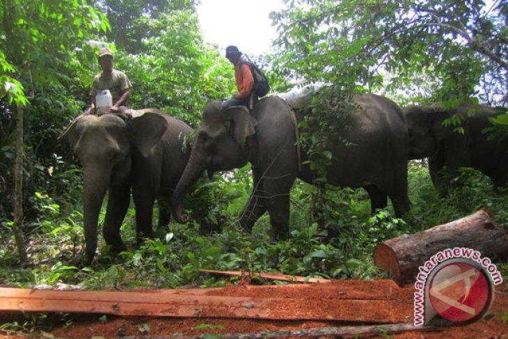 BKSDA Bengkulu pasang infus gajah liar sakit