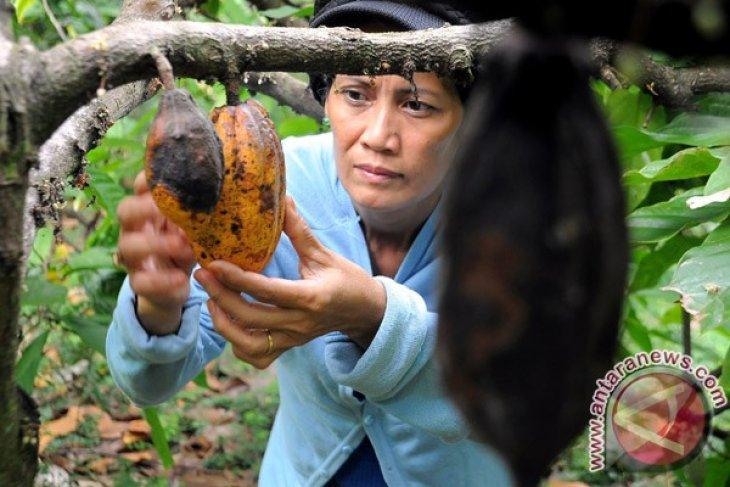 Reviving C.  Sulawesi cocoa`s glory