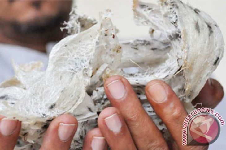 80 percent of swallow nest in China imported from Indonesia
