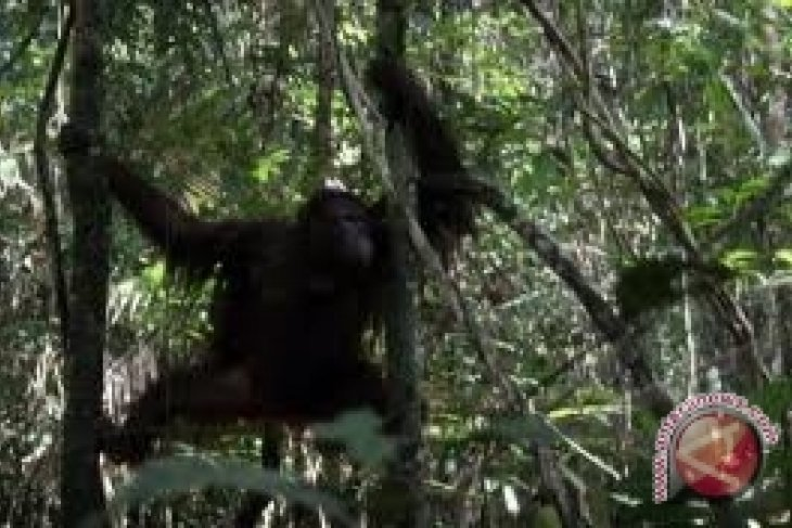 WWF  Kalbar Investigasi Penyebab Orangutan Keluar Habitatnya