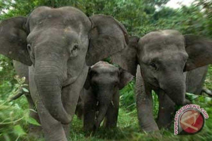Penyempitan hutan ancam populasi gajah Sumatera
