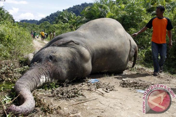 Rat poison allegedly kills two Sumatran elephants