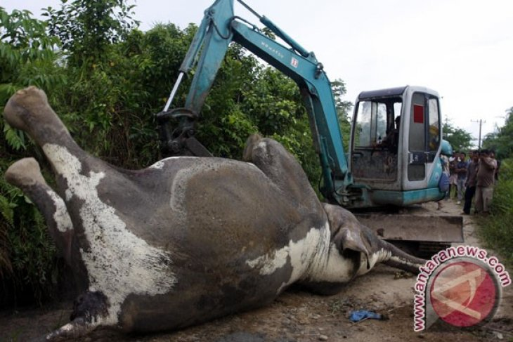 Sumatran elephant deaths on the rise