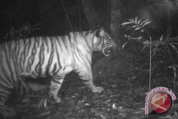 Harimau Sumatera terekam kamera