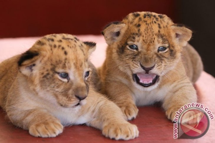 Rwanda imports lions from S. Africa to boost tourism sector